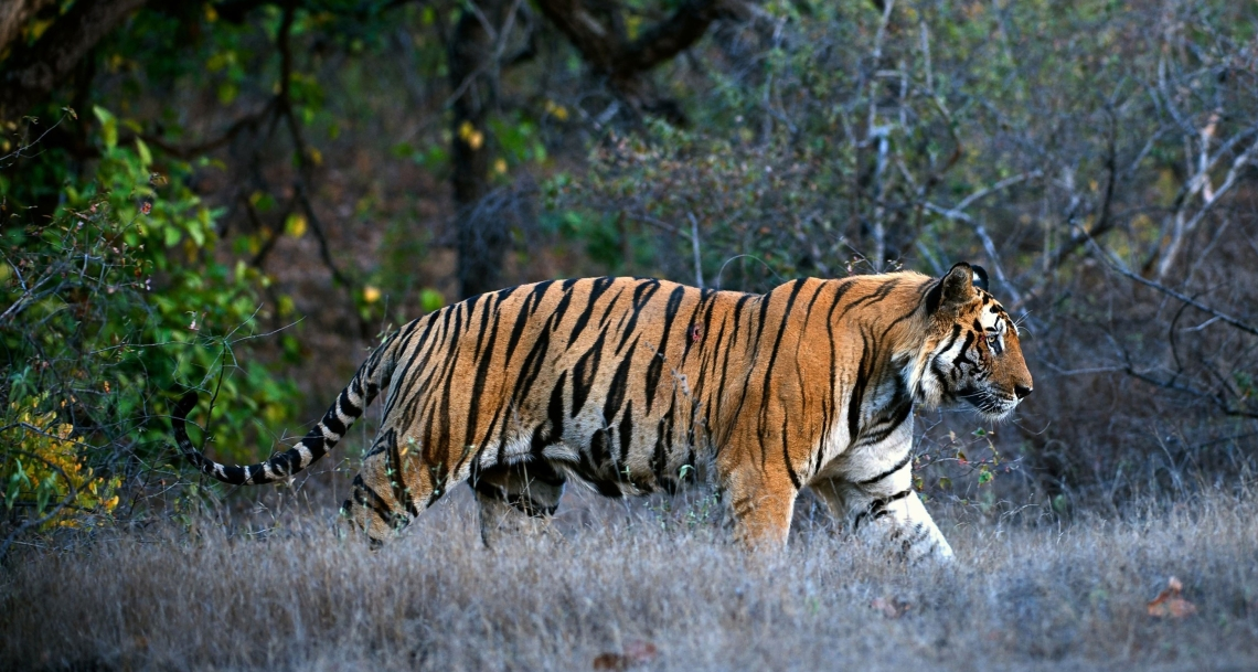 royal-bengal-tiger-in-kanha-national-park.jpg