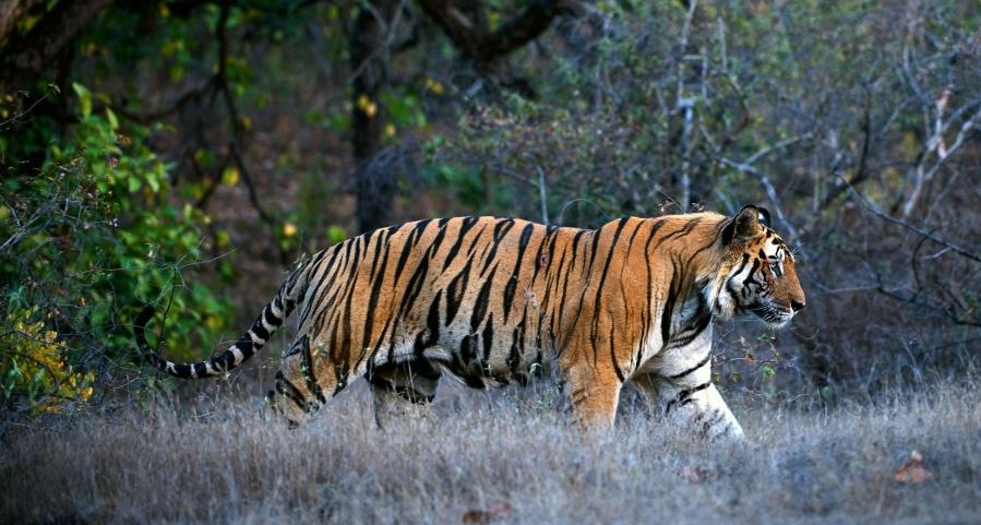 royal-bengal-tiger-in-kanha-national-park.jpg