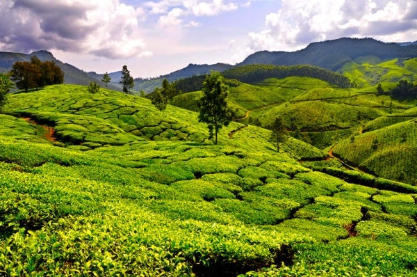 tea_garden_landscape_hd_pictures_166163