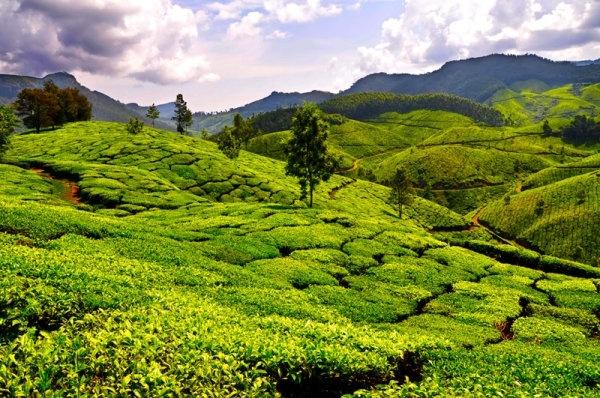 tea_garden_landscape_hd_pictures_166163